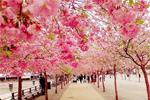 Bài 12: Ngắm hoa anh đào, món ăn tinh thần