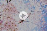 Hoa anh đào ở Hirosaki